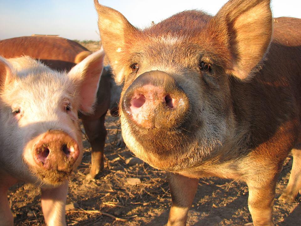 elevage de cochon porc dans le Gard