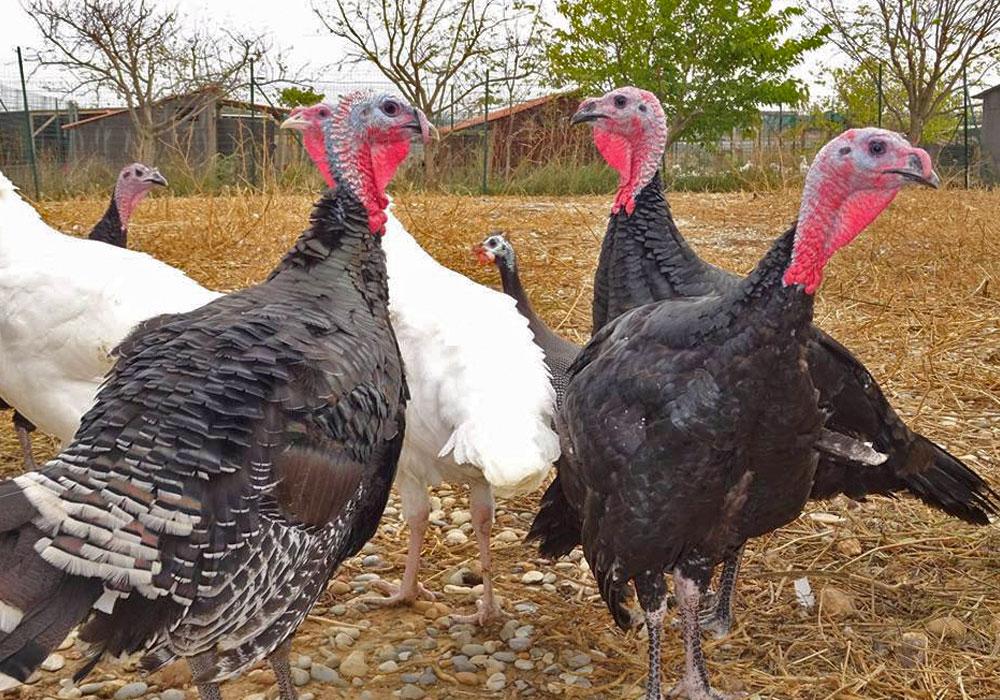 vente directe poulet fermier